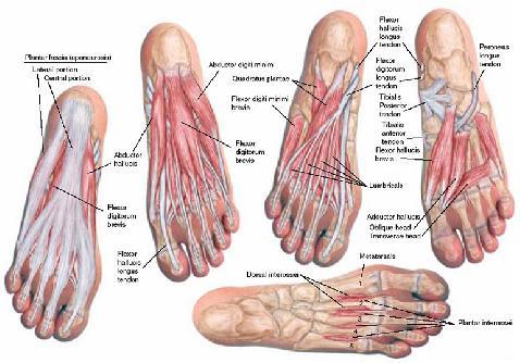 muskler i foden